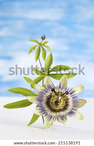 Passion Fruit Flower and Leaves Isolated on blue  with clipping path - stock photo