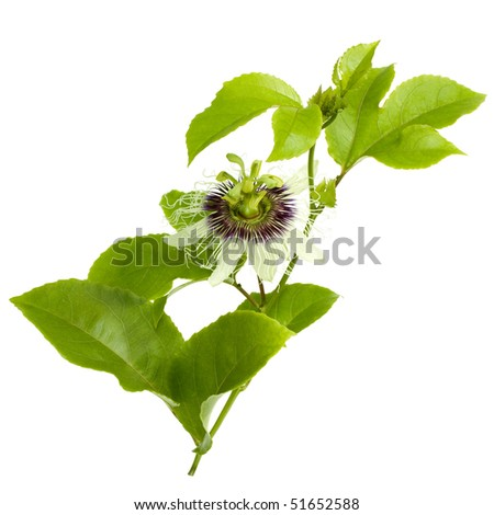 Passion Fruit Flower and Leaves Isolated on white with clipping path - stock photo