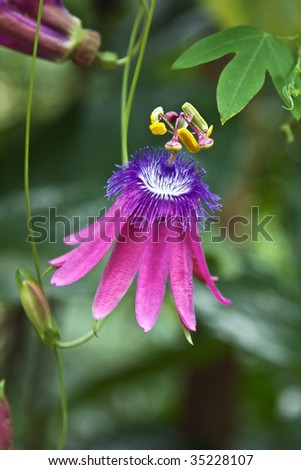 Passion fruit flower in the garden - stock photo