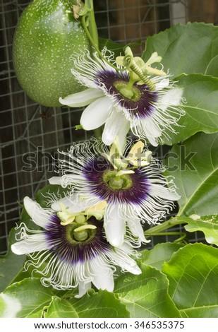 Passion fruit flowers (passiflora incarnata) and fruit on the vine - stock photo