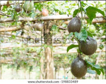 Passion fruit in farm with sunbeam - stock photo