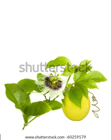 Passion Fruit on the vine with flower isolated on white with space for text - stock photo
