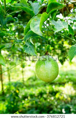 Passion fruit plantation-Close up fruit - stock photo