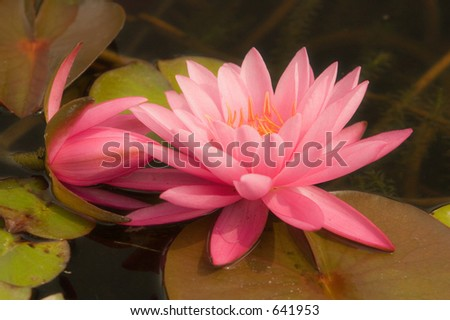 Passion Pink Water Lily