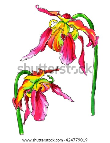 Passion pink yellow tropical flower in blossom. Hand drawn decorative watercolor plant flower isolated on white background. Botanical bright illustration for wedding printing product, card, invitation - stock photo