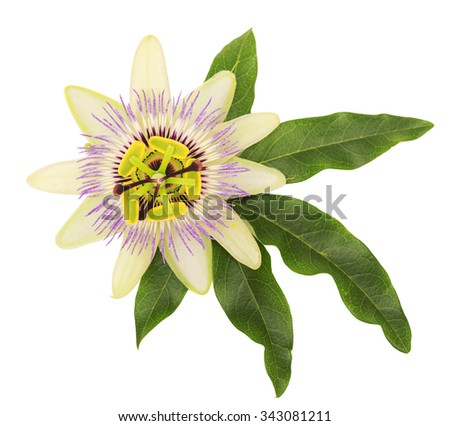 Passionflower. Isolated on white background - stock photo