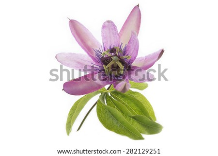 Passionflower Purple - stock photo