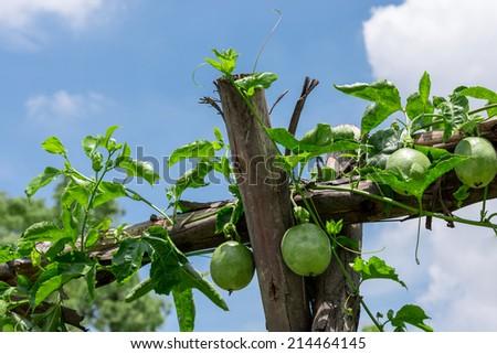 Passionfruit on plant. - stock photo