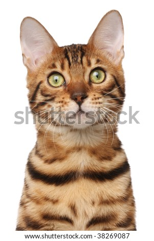Passport shot of bengal cat - stock photo
