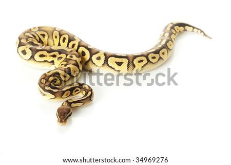 pastave ball python (Python regius) isolated on white background. - stock photo