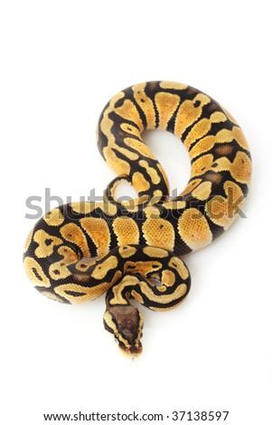 pastel ball python (Python regius) isolated on white background. - stock photo