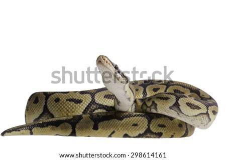 pastel citrus calico ball python Python isolated on white background. - stock photo