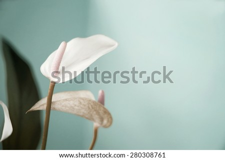 pastel color shade of beautiful anthurium flower on turquoise background - stock photo
