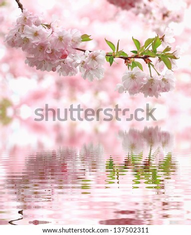 pastel colored light pink cherry blossoms, reflecting in water - stock photo