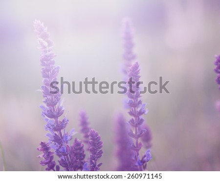 Pastel colored photo of lavender flower field in sunset - stock photo