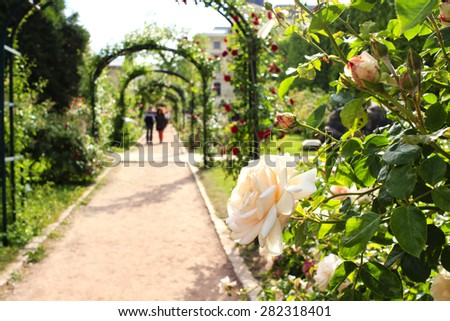 Pastel colored rose on the foreground and blurred rose archway on the background in the Jardin de Plantes, Paris, France - stock photo