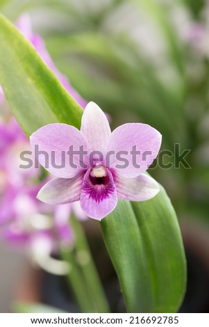 Pastel purple dendrobium orchid with green leaves close up - stock photo