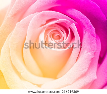 Pastel rose in soft style with color filtered for background - stock photo