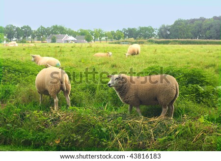 pastoral green field  blue sky and sheeps - stock photo