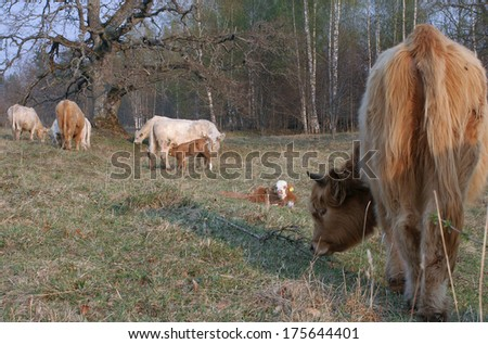 Pastoral idyll - cattle graze and enjoy sunny day in nice wooded pasture - stock photo