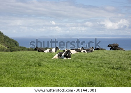 Pastoral landscape showing cows lying down in scenic Ayrshire B & B  in Scotland at a dairy farm overlooking the sea in the Firth of Clyde on a sunny day with green fields and blue skies with clouds.