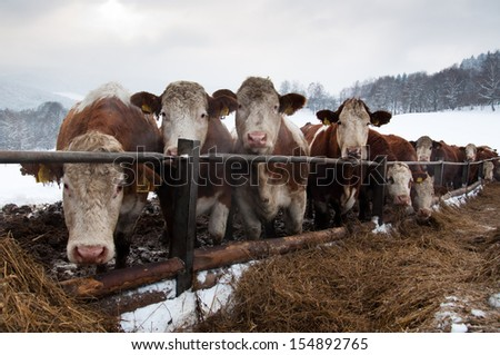 Pasturing cows staring through the fence in the winter - stock photo