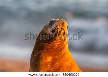 patagonia female sea lion portrait seal on the beach - stock photo
