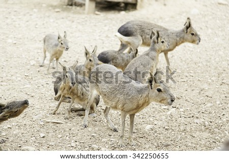 Patagonia hare in nature, detail of mammals - stock photo