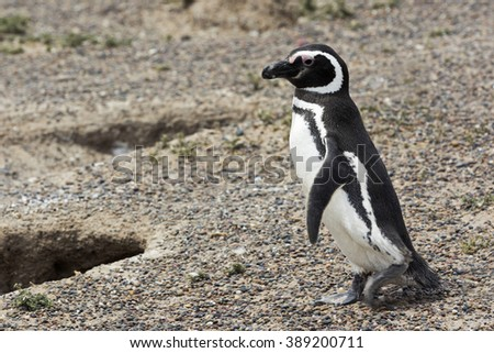 female penguin stock images royaltyfree images amp vectors