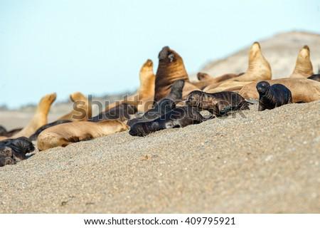 patagonia puppy sea lion portrait seal on the beach - stock photo