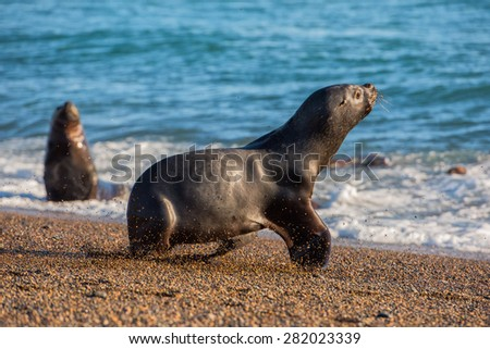 patagonia sea lion portrait seal while running on the beach - stock photo