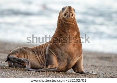 patagonia sea lion portrait seal while sitting on the beach - stock photo