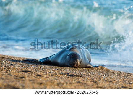 patagonia sea lion portrait while relaxing on the beach - stock photo