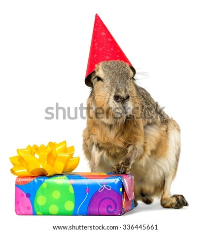 Patagonian Cavy with Birthday Hat and Present - Isolated