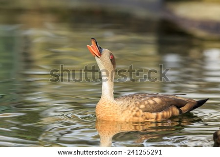 Patagonian crested duck screaming - stock photo