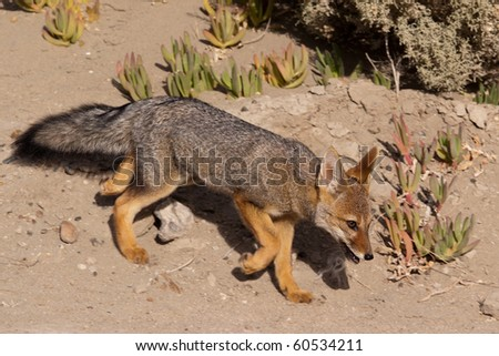 Patagonian Gray Fox (Dusicyon griseus) - stock photo