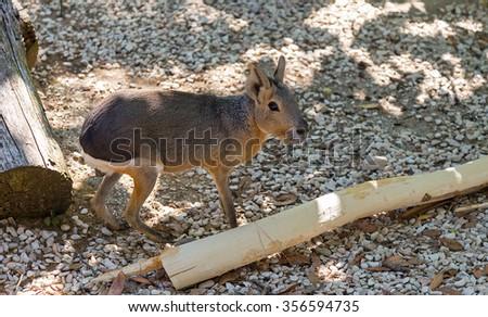 patagonian mara, big rodent - stock photo