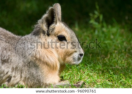 Patagonian Mara (Doilichotis patagonum) large relative of guinea pig on a green meadow, other common names: Patagonian cavy or Patagonian hare - stock photo