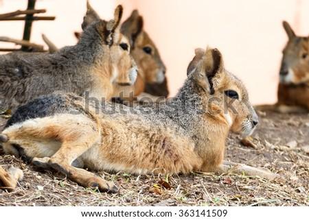 Patagonian Mara on the ground - stock photo