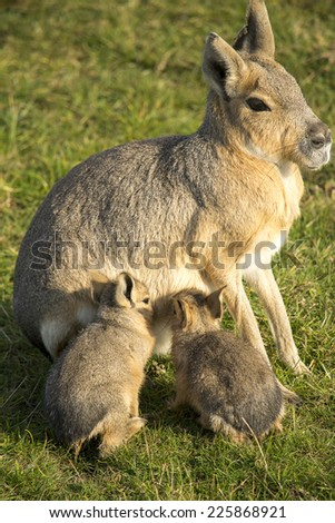 Patagonian mara with her babies in the grass. - stock photo