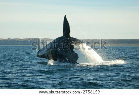 Patagonian whale jumping high