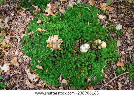 Patch of moss with an earth ball mushroom and an oak tree leaf on forest ground - stock photo