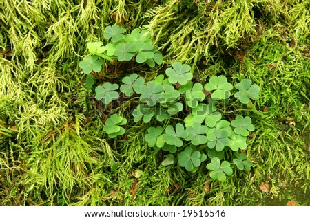 Patch of Three Leaf Clover with Moss Background Horizontal - stock photo