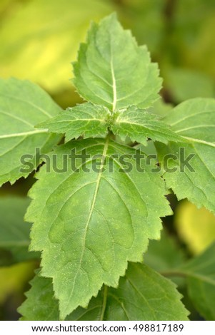 Patchouli's fresh green leaves(Pogostemon cablin)