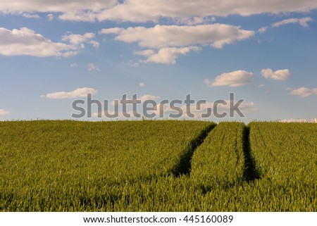 Path among rye field under blue sky and clouds landscape. Road in rye spike meadow in summer golden hour. Rich harvest in Belarus.  - stock photo