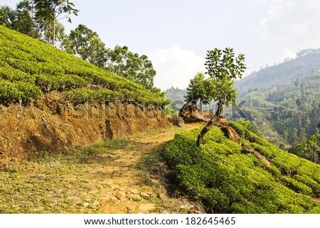 Path in fresh green tea plantation at mountain hillside of Nuwara Eliya, Sri Lanka, Ceylon - stock photo