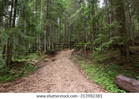 path in green pinetrees forest - stock photo