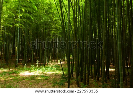Path in the bamboo forest