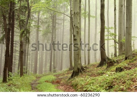 Path in the misty forest on the border between coniferous and deciduous trees.