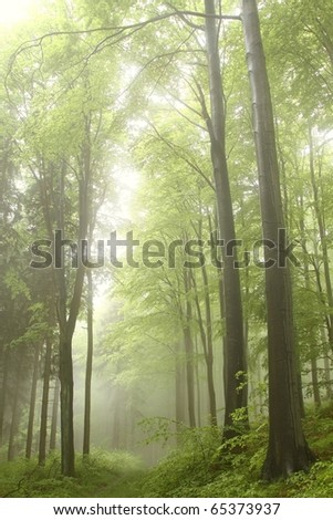 Path leading through a misty spring forest among the beech trees.
